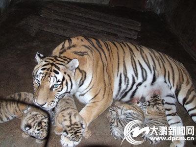 牡丹江两只英雄虎妈生下10只小虎仔(图)