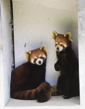 北方森林动物园8只超萌小熊猫与小朋友共度儿童节
