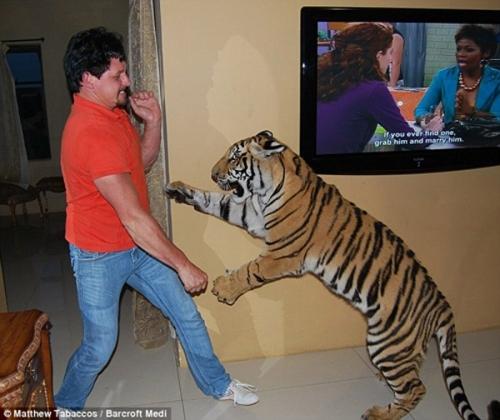 小狗和老虎 打架