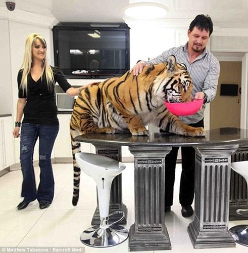 家中养老虎甚是危险