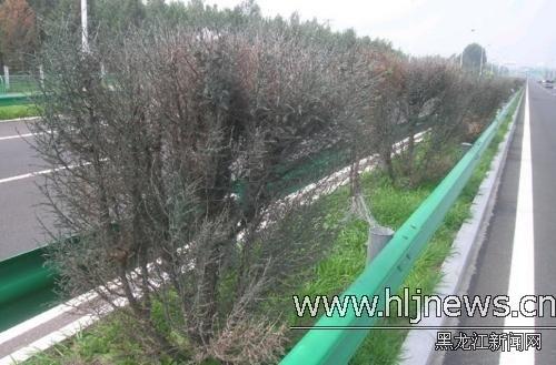 走近一看才发现,原来这些已经枯死的树都被喷上了一层暗绿色的漆,树枝