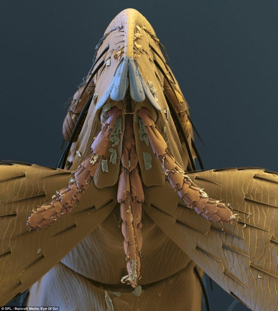 动物界的吸血鬼:苍蝇吮吸宿主鲜血(高清)