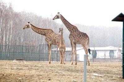 哈尔滨北方森林动物园长颈鹿妈妈首诞1米85大个头宝宝