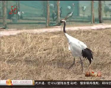 哈尔滨动物园丹顶鹤接受训练展翅翱翔