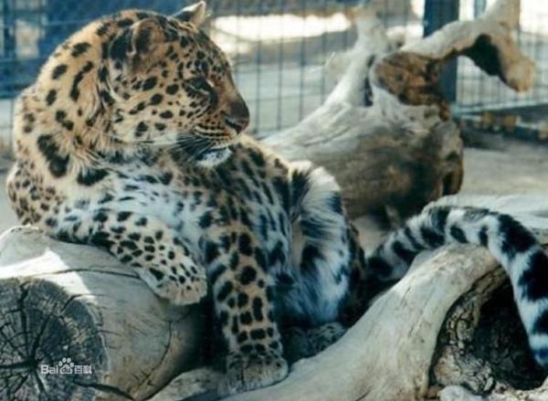 于东北虎的大型猫科动物