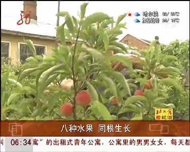 宁安老人研究嫁接技术1棵果树长8种水果