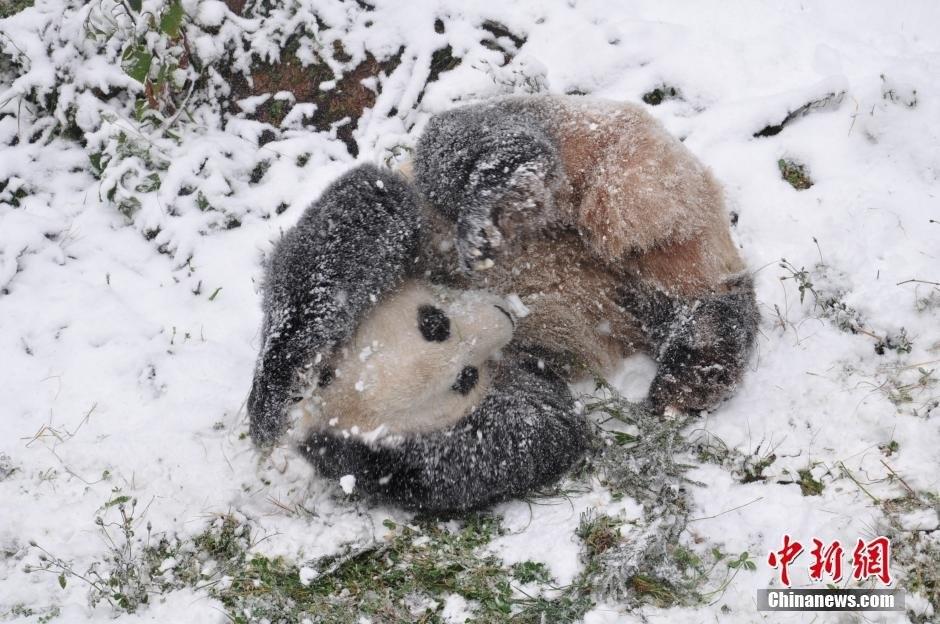 云南野生动物园的大熊猫在雪地里撒欢