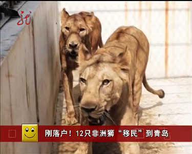 山东青岛森林野生动物世界引进12只非洲狮