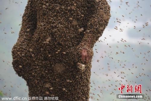 8万只小蜜蜂为他织成一件蜂衣