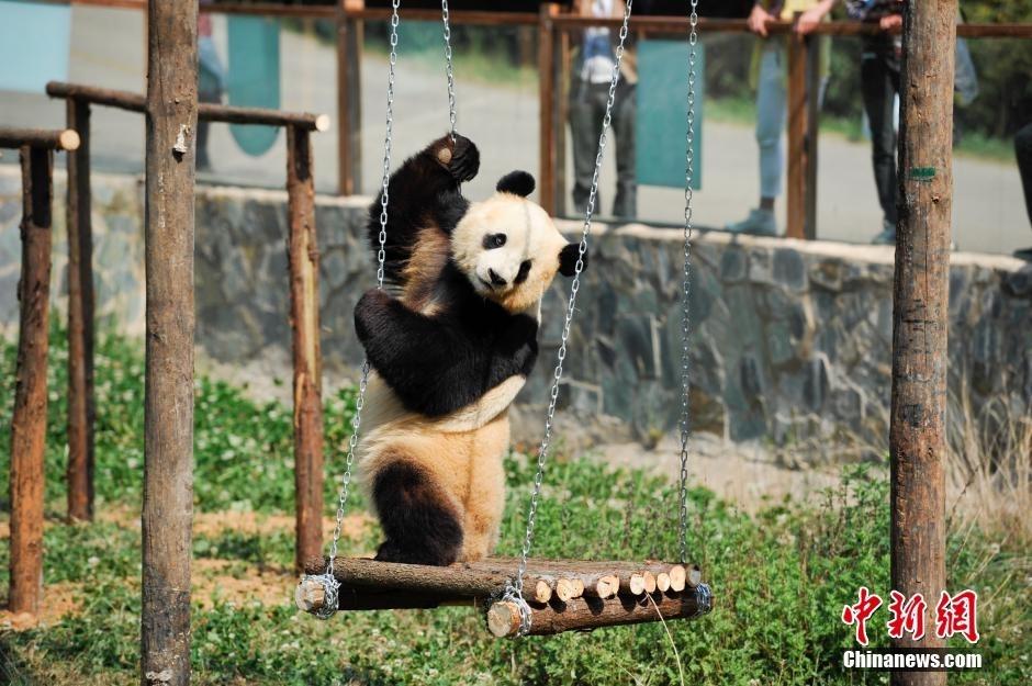 云南野生动物园为情绪低落大熊猫装电视(组图)