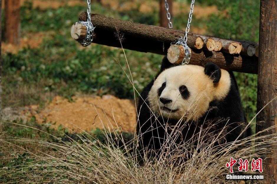野生动物园为情绪低落大熊猫装电视(组图)