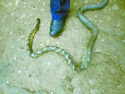 武汉市动物园高级工程师杜有顺在看过该蛇的图片后表示,这两条蛇学名