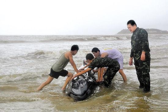 """受台风""""威马逊""""影响,一条虎头鲸受伤搁浅在广东阳江市海陵岛敏捷附近"""