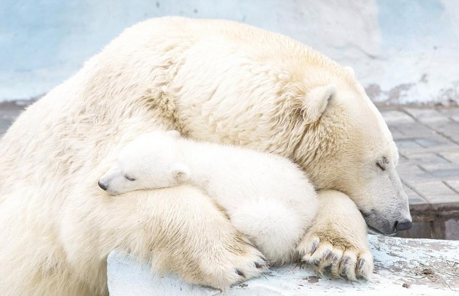 暖心画面:北极熊怀抱宝宝温柔呵护_黑龙江网络广播电视台