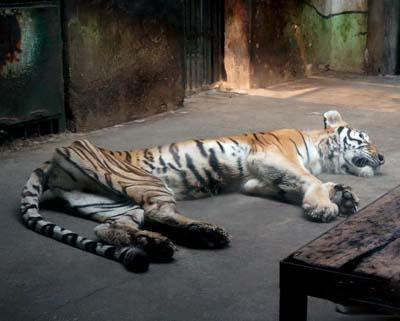 """天津动物园一老虎骨瘦如柴 系因患病并非""""饿瘦""""(组图)"""