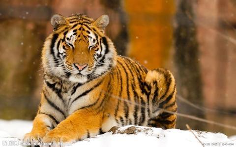 东北虎资料_东北虎对比狮子体型图_东北虎捕食600公斤棕熊