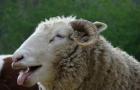 羊群误食大麻嘿嘿傻笑 网友喊警察叔叔抓嗑药羊(组图)