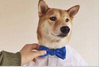 纽约时尚圈一条柴犬当模特月入九万元(组图)