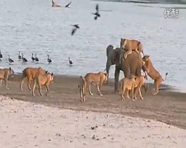 8岁小象被狮群围攻 击退14只饥饿母狮