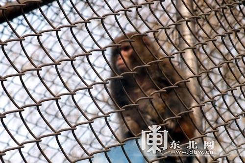 公园也打算将猴子送到动物园
