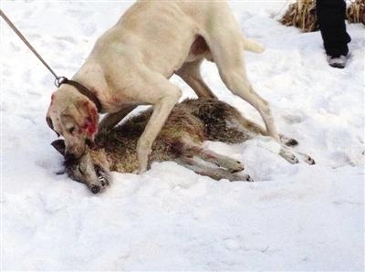 又根据狼在雪地上留下的爪印