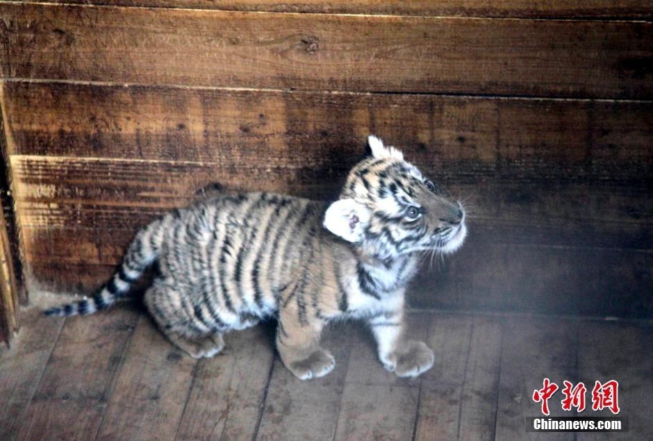 """1月28日,江西南昌市动物园猛兽幼儿园内,此前""""受虐""""的小华南虎身体无"""