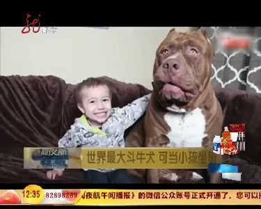 世界最大斗牛犬可当小孩坐骑