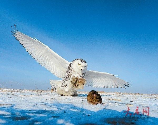 大庆越冬的鸟儿:喜鹊,麻雀,文须雀……来到林甸小黑山时