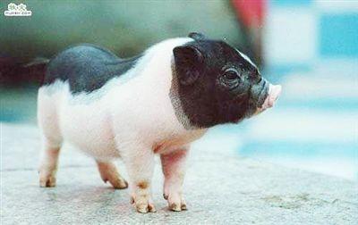 3000元买的袖珍猪 长成160斤大肥猪(组图)(3)
