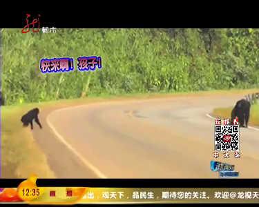 聪明黑猩猩相互照应组团过马路