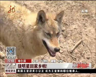 """哈尔滨动物园""""狼图腾""""明星回家啦"""