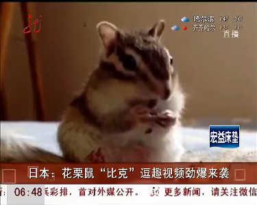 """日本花栗鼠""""比克""""逗趣视频劲爆来袭"""