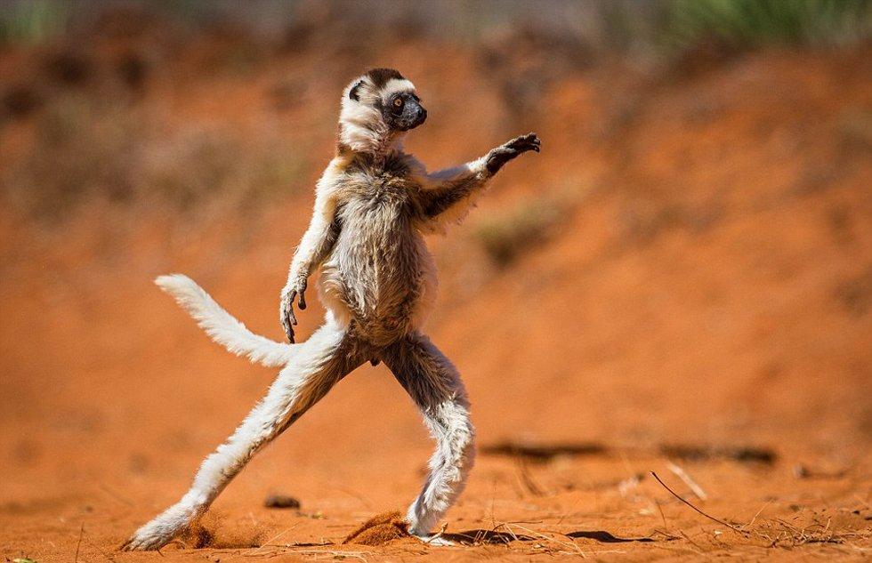 奇趣野生动物摄影奖入围作品 狐猴跳舞松鼠练功(组图)