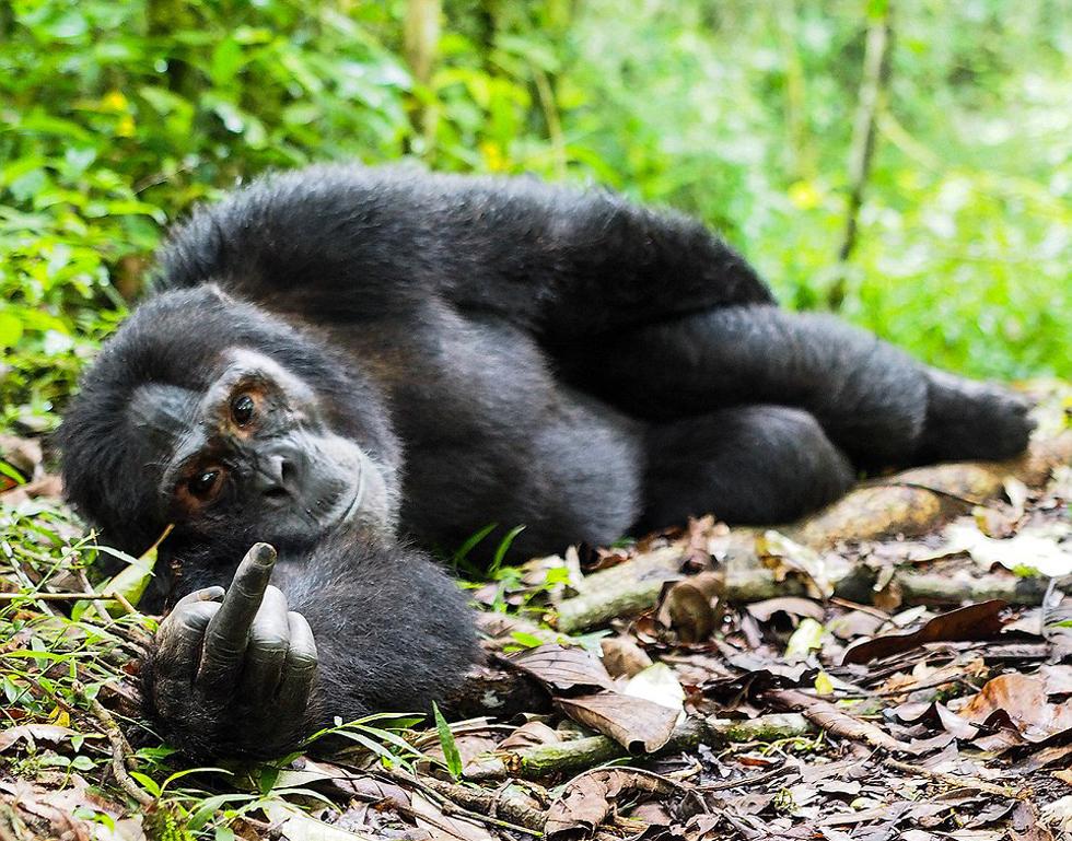 奇趣野生动物摄影奖入围作品曝光 大猩猩对摄影师竖中指