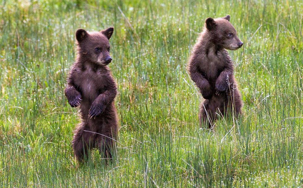 萌化了!两只小熊大树下玩躲猫猫