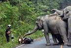 泰国摩托车手遭大象围攻一幕(组图)