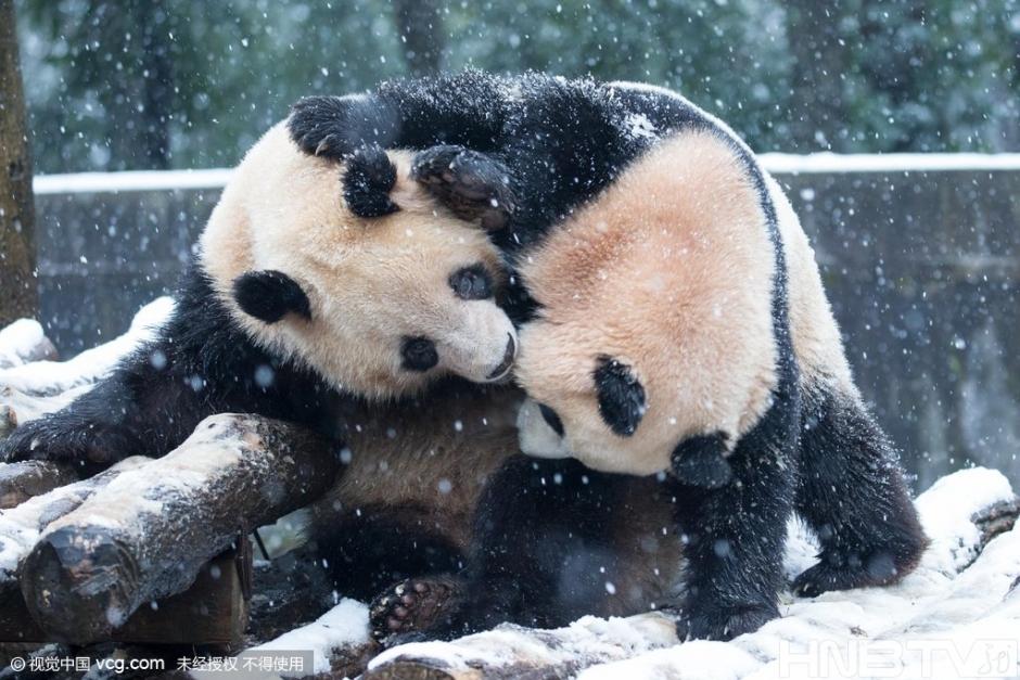 杭州动物园大熊猫