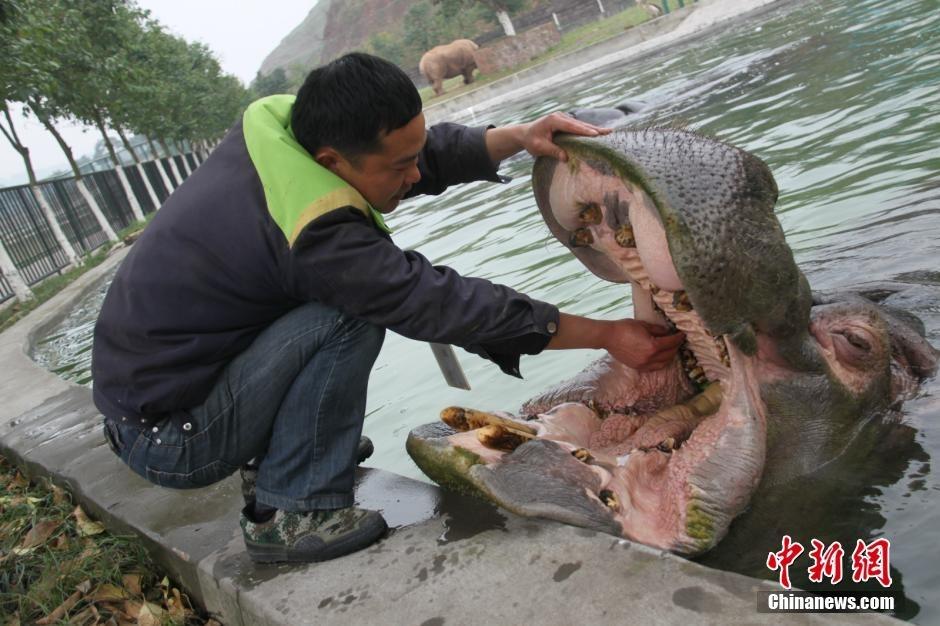 野生动物世界的一只河马进食后觉得牙齿不舒服,见到饲养员便游到岸边