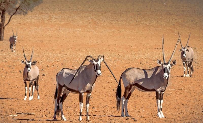 罗索夫在纳米比亚管理一座小屋,以便时刻关注野生动物的情况,他表示自己也是无意中发现这只羚羊的。罗索夫还解释,一般说来,羚羊的角都是竖直往上生长,像这样弯曲着下垂生长而且如此对称的角他还是第一次碰见。