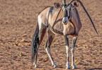 纳米比亚一羚羊双角向下倒长