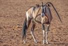 """尽管与众不同,但是这只羚羊看起来并未遭到族群排挤,也能正常地生活。不过当它需要用角来自卫时,这种""""畸形""""的角可能就有所不便了。罗索夫还表示,目前仍未没找到造成这种情况的原因。"""