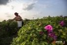在安徽省亳州市谯城区双沟镇吴寨村,81岁的刘宗兰和84岁的王廷才家世世代代居住在这里。去年村里成立了农民种植合作社,他们把家里六亩多的土地,以每年800元的价格,承包给了合作社,合作社一共承包了村子里2000亩土地,种植药用玫瑰花。如今,玫瑰花采摘已接近尾声。(图/文 西楚朗雨)