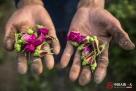 刘宗兰和王廷才就在自己的土地上,给合作社打工,采摘玫瑰花蕾。他们每天早上四点多起来,抹黑干活,晚上到天黑才回家,干累了,就坐在地里歇歇。今年的干玫瑰花价格一直走低,所以采摘鲜玫瑰的价格也从去年的每斤一块钱降到了8毛。