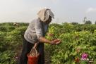 玫瑰花有很多刺,加之含糖量高,所以一天采摘下来很辛苦,刘宗兰的手一天要被扎十来次。