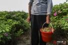 刚出嫁时,刘宗兰就心灵手巧,家里的活样样拿得起,所以采摘玫瑰花对刘宗兰来说更是小菜一碟,老太太一天能摘70斤,而王廷才一天能摘50斤。几十年的劳作,使得刘宗兰坚强而又随和。