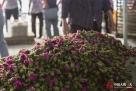 采来的玫瑰,合作社要过秤,开收据,玫瑰花季结束才能拿到工钱。玫瑰花要采摘花蕾,盛开的和没开的,合作社都不要。