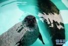 """这是在互动区亮相的海豹(7月21日摄)。7月21日,哈尔滨极地馆""""海洋欢乐岛""""最后一部分""""动物互动区""""全部完工,正式向游客开放,6只新引进的海豹也首次和游客见面。6只海豹都属斑海豹,4只雌性,2只雄性。新华社记者王凯摄"""