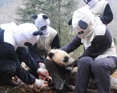 大熊猫野化训练 工作人员伪装熊猫萌萌哒