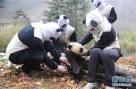 在中国大熊猫保护研究中心核桃坪野化训练基地,中国大熊猫保护研究中心首创了大熊猫幼仔与人的伪装隔离法,避免参与野化训练的大熊猫对人和人工饲养环境产生依赖。图为工作人员在中国大熊猫保护研究中心核桃坪野化训练基地为参加野化训练的大熊猫幼仔做体检。