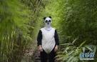 目前,我国大熊猫人工繁育工作取得有效进展,大熊猫圈养种群快速优质发展,但我国的野生大熊猫呈现出小种群多、种群隔离高、灭绝风险大的特点。